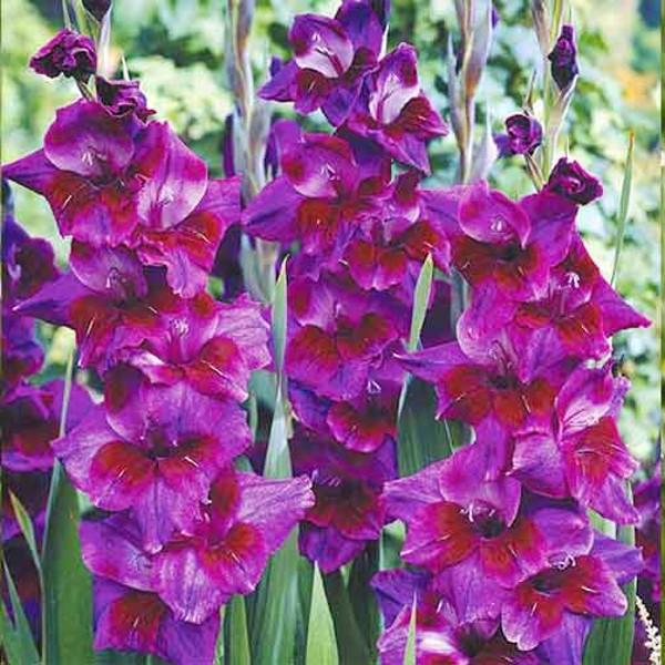 Луковицы Гладиолус крупноцветковый Велвет Айз 3шт