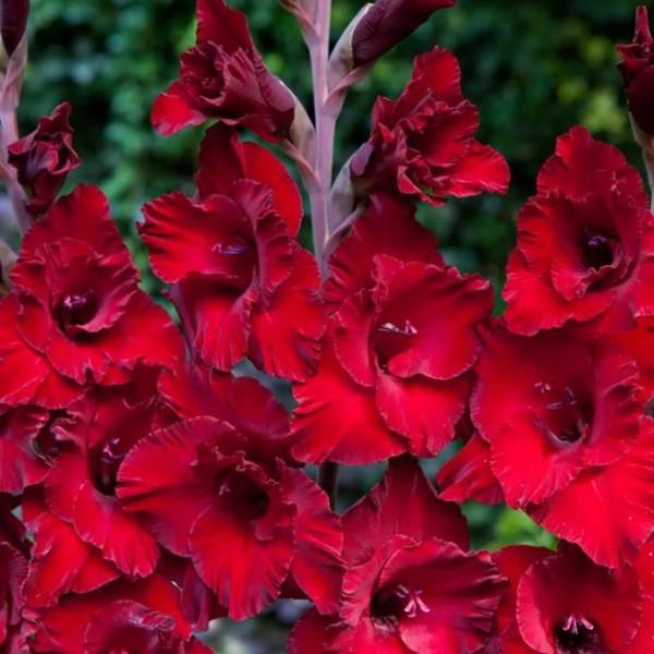 Луковицы Гладиолус крупноцветковый Кардинал 3шт