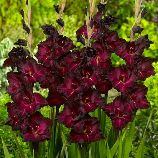 Луковицы Гладиолус крупноцветковый Блэк Сюрпрайз 3шт