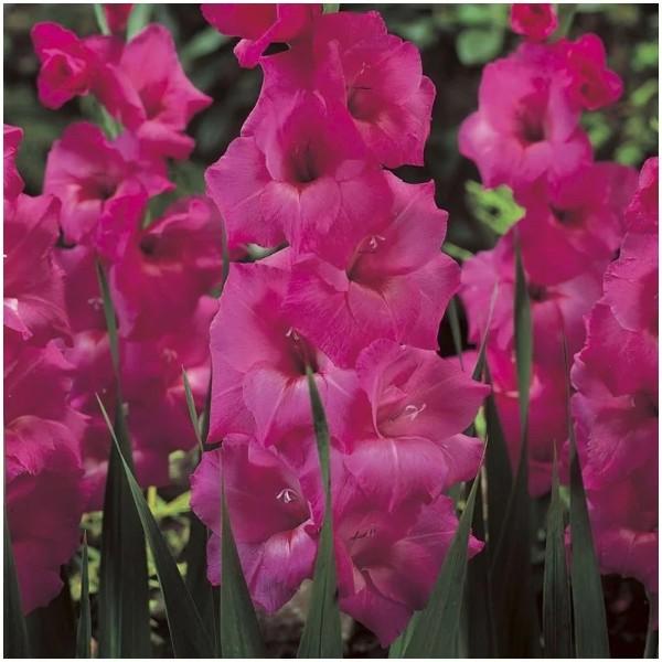 Луковицы Гладиолус крупноцветковый Фиделио 3шт
