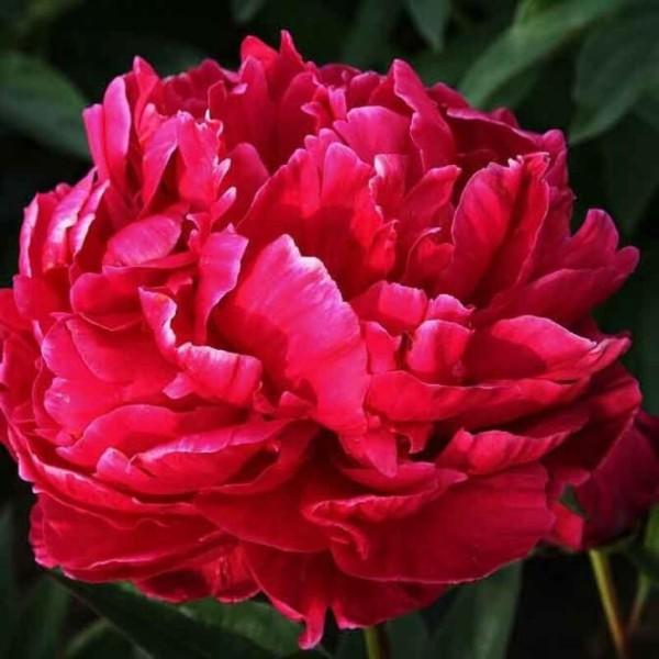 Луковицы Пион молочноцветковый травянистый Карл Розенфельд 1шт