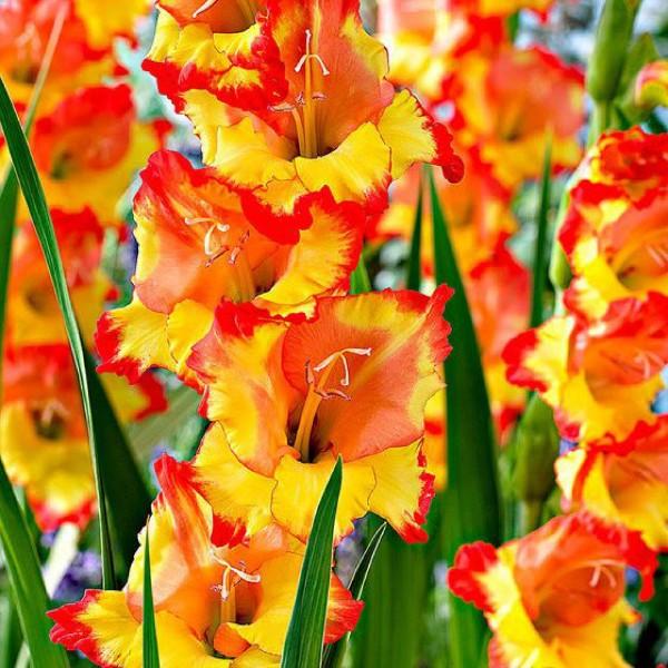 Луковицы Гладиолус крупноцветковый Принцесс Маргарет Роуз 3шт